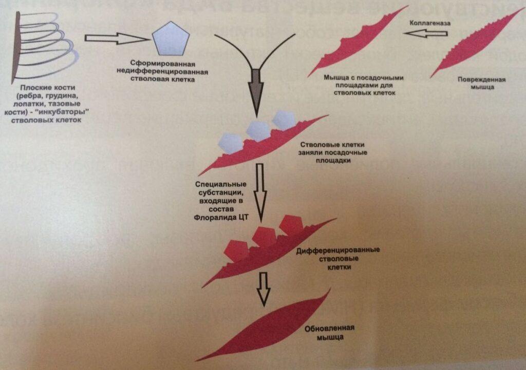 Фото Грибы и стволовые клетки. Продолжение.