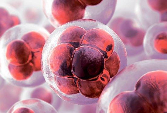 Грибы и стволовые клетки. Продолжение.