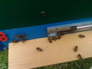 Фото Пчелы из Амурской области
